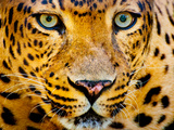 Close up Portrait of Leopard with Intense Eyes Photographic Print by Rob Hainer