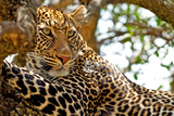 Wild Leopard Lying in Wait atop a Tree in Masai Mara, Kenya, Africa Photographic Print by Travel Stock