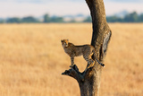 Young Cheetah in the Tree in Masai Mara, Kenya Photographic Print by Maggy Meyer