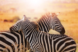 Close-Up Portrait of Mother Zebra with its Foal Photographic Print by Sergey Novikov