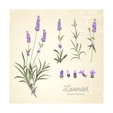 Vintage Set of Lavender Flowers Elements. Botanical Illustration. . Lavender Hand Drawn. Watercolor Photographic Print by  Kotkoa