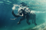 Swimming Elephant Underwater. African Elephant in Ocean with Mirrors and Ripples at Water Surface. Photographic Print by Willyam Bradberry