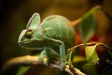 Veiled Chameleon (Chamaeleo Calyptratus) Resting on a Branch in its Habitat, Macro Photo. Photographic Print by Lukas Gojda