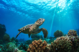 Beautiful Underwater Postcard. Maldivian Sea Turtle Floating up and over Coral Reef. Loggerhead in Photographic Print by Willyam Bradberry