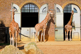 Giraffes at the London Zoo in Regent Park Photographic Print by  Kamira
