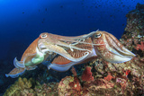 Pair Cuttlefish Mating Photographic Print by Rich Carey