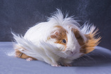 A Guinea Pig's Hair is Blowing in the Wind. Fotografisk tryk af  EBPhoto