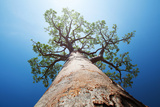 Baobab Tree with Green Leaves on a Blue Clear Sky Background. Madagascar Photographic Print by Dudarev Mikhail