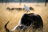 White Cattle Egret Hitching a Ride on the Back of a Buffalo (Masai Mara; Kenya) Photographic Print by Paul Banton