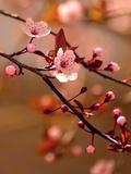 Sakura Flowers Photographic Print by  Montypeter