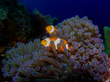 Detail of the Purple Anemone Coral with Couple of Indonesian Anemone Fish. Orange Fishes Hiding Ins Photographic Print by Kristina Vackova
