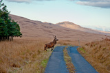 Deer Crossing Road on Jura Photographic Print by Jaime Pharr