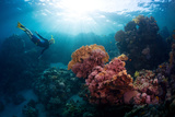 Free Diver Exploring Vivid Coral Reef in Tropical Sea Photographic Print by Dudarev Mikhail