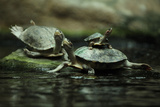 Southern River Terrapin (Batagur Affinis), also known as the Batagur. Wildlife Animal. Photographic Print by Vladimir Wrangel