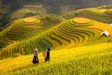 Rice Fields on Terraced of Mu Cang Chai, Yenbai, Rice Fields Prepare the Harvest at Northwest Vietn Photographic Print by  anekoho