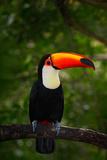 Toco Toucan, Big Bird with Orange Bill, in the Nature Habitat, Pantanal, Brazil. Orange Beak Toucan Photographic Print by Ondrej Prosicky