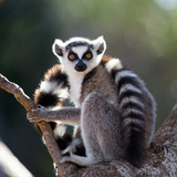 Ring-Tailed Lemur Sitting on a Tree. Madagascar. an Excellent Illustration. Photographic Print by GUDKOV ANDREY