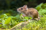 Wild Wood Mouse Resting on the Root of a Tree on the Forest Floor with Lush Green Vegetation Photographic Print by Rudmer Zwerver