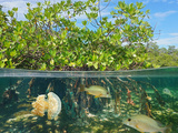 Mangrove above and below Water Surface, Half and Half, with Fish and a Jellyfish Underwater, Caribb Photographic Print by  Damsea