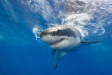 Great White Shark Swimming Just under the Surface at Guadalupe Island Mexico Photographic Print by  Wildestanimal
