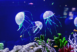 Beautiful Jellyfish, Medusa in the Neon Light with the Fishes. Aquarium with Blue Jellyfish and Lot Photographic Print by  Dezay