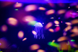 Beautiful Jellyfish, Medusa in the Neon Light with the Fishes. Aquarium with Blue Jellyfish and Lot Photographic Print by The Len