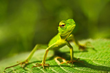 Green Lizard. Beautiful Animal in the Nature Habitat. Lizard from Forest. Green Garden Lizard, Calo Photographic Print by Ondrej Prosicky