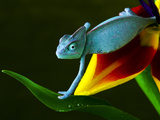 Chameleons Belong to One of the Best known Lizard Families. Photographic Print by Sebastian Duda