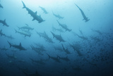 Underwater View of Scalloped Hammerhead Sharks Swimming in the Waters off Darwin Island, Galapagos Photographic Print by  Wildestanimal