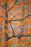 Grey Ural Owl, Strix Uralensis, Sitting on Tree Branch, at Orange Leaves Oak Autumn Forest, Bird In Photographic Print by Ondrej Prosicky