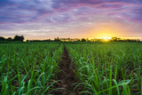 Sugarcane Field at Sunset. Photographic Print by  amornchaijj