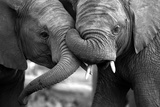 This Amazing Black and White Photo of Two Elephants Interacting Was Taken on Safari in Africa. Photographic Print by JONATHAN PLEDGER