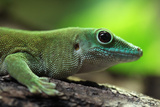 Koch's Giant Day Gecko (Phelsuma Madagascariensis Kochi), also known as the Madagascar Day Gecko. W Photographic Print by Vladimir Wrangel