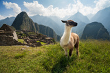 Llama in the Ancient City of Machu Picchu, Peru. Overlooking Ruins of the Inca Citadel in the Andes Photographic Print by  studiolaska