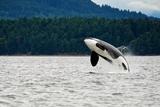 Killer Whale Breaching near Canadian Coast Photographic Print by  Doptis