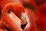 Flamingo with Red Background Photographic Print by Michal Ninger