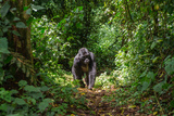 Mountain Gorillas in the Rainforest. Uganda. Bwindi Impenetrable Forest National Park. an Excellent Photographic Print by GUDKOV ANDREY