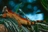 Green Iguana, Iguana Iguana, Portrait of Orange Big Lizard in the Dark Green Forest, Animal in the Photographic Print by Ondrej Prosicky