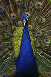 Beautiful Bird Male Indian Peacock, Pavo Cristatus, Showing its Feathers, with Open Tail. Wildlife Photographic Print by Ondrej Prosicky