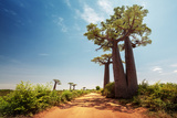 Baobab Trees along the Unpaved Red Road at Sunny Hot Day. Madagascar Photographic Print by Dudarev Mikhail