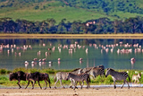 Zebras and Wildebeests Walking beside the Lake in the Ngorongoro Crater, Tanzania, Flamingos in The Photographic Print by Travel Stock