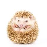 Four-Toed Hedgehog, Atelerix Albiventris, Balled up in Front of White Background Lámina fotográfica por  KAMONRAT