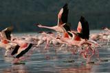 Lesser Flamingos at Lake Nakuru National Park, Kenya Photographic Print by Steffen Foerster