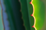 Close up Thorn of Agave Plant in the Gardens Photographic Print by  Freedom_Studio
