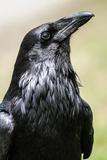 Common Raven, Jasper National Park Alberta Canada Reproduction photographique par  BGSmith