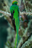 Resplendent Quetzal, Pharomachrus Mocinno, Magnificent Sacred Green Bird with Very Long Tail from S Reproduction photographique par Ondrej Prosicky