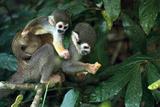 Squirrel Monkey in Amazon Rainforest Photographic Print by Ksenia Ragozina