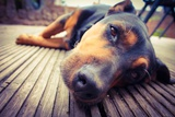 A Mixed Breed Dog Dozing on Wooden Deck Photographic Print by Jo millington