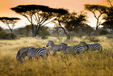 Herd of Zebras on the African Savannah Photographic Print by Andrzej Kubik