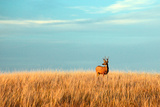 A Mule Deer Buck Stands in a Tall Bed of Grass and Looks into the Autumn Sun on the Great Plains. Photographic Print by Todd Klassy